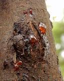 吠声胶渗出的结构树篱笆条 库存照片