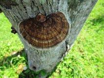 吠声蘑菇 免版税库存照片