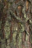 吠声详细资料美国加州红杉结构树 免版税图库摄影