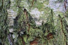 吠声近景结构树 免版税图库摄影