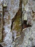 吠声近景结构树 免版税库存照片