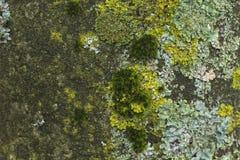 吠声绿色地衣结构树 库存照片