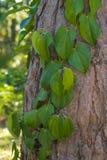 吠声绿色留下结构树 免版税库存图片