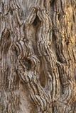 吠声leadwood结构树 免版税库存图片