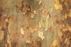吠声platan纹理结构树 图库摄影