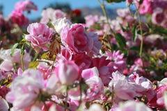 吨桃红色玫瑰 库存照片