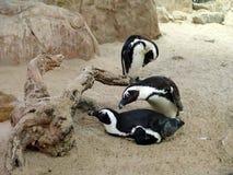 含沙海滩的企鹅 免版税库存图片
