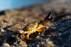 含沙海滩的螃蟹 库存图片