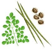 含油椒木属 向量例证
