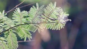含羞草叶子和早晨太阳光 影视素材