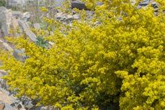 含羞草开花盖到处 一个晴天 免版税库存照片