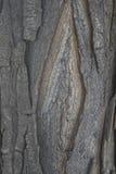 含羞草树皮 库存照片