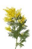 含羞草的枝杈 免版税库存图片