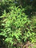 含羞草种子 图库摄影