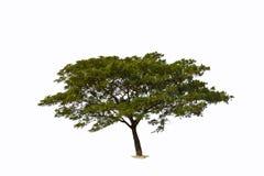 含羞草结构树 库存照片