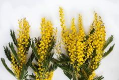 含羞草金合欢dealbata几个开花的分支  库存照片