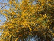 含羞草阳光黄色金合欢植物学黄色蓬松hairballs 免版税库存照片