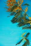 含羞草,妇女` s天的标志和唤醒春天 在绿松石背景 库存照片