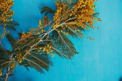 含羞草,妇女` s天的标志和唤醒春天 在绿松石背景 免版税库存照片