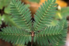 含羞草pudica从印度尼西亚的绿色叶子 免版税库存图片