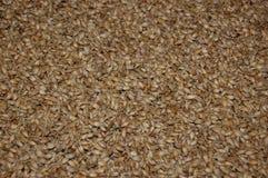 含麦芽的大麦 库存图片