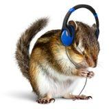 听到在耳机的音乐的滑稽的花栗鼠 图库摄影