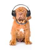 听到在耳机的音乐的红葡萄酒小狗 查出 免版税图库摄影