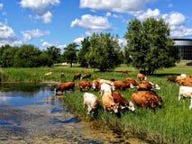 听到的母牛 免版税库存照片