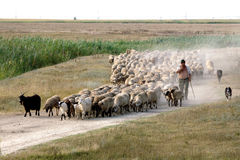 听到的绵羊 免版税库存图片