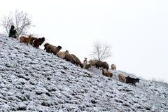 听到的绵羊 库存图片