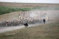 听到的绵羊 库存照片