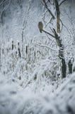 听沈默。猫头鹰坐树 库存照片