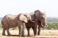 听见我-非洲人布什大象 免版税库存照片