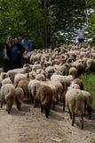 听见的绵羊 库存照片