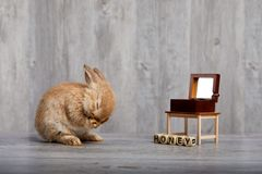 听音箱的布朗兔子 免版税库存照片