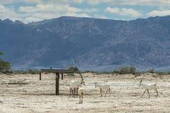 听说的羚羊,阿拉伯羚羊属 免版税图库摄影