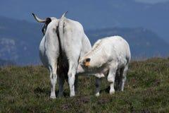 吮一头母牛的小牛在比利牛斯 免版税库存照片