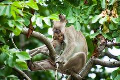 吮乳奶母亲的小猴子 免版税库存图片