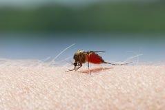 吮在人的皮肤的蚊子血液 库存照片