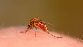 吮在人的皮肤的蚊子血液 图库摄影