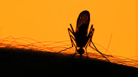 吮在太阳背景的人的皮肤的蚊子血液 免版税图库摄影