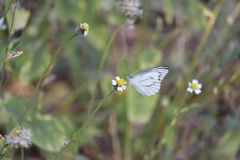 吮在小花的白色蝴蝶甜花蜜 免版税库存照片