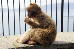 吮它的拇指的巴巴里人猴子 免版税库存图片