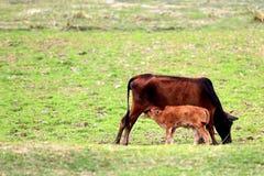 吮牛奶的小牛从在草原的一头母牛 免版税图库摄影