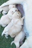 吮牛奶的拉布拉多小狗从母亲狗乳房。 免版税库存照片