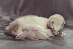 吮牛奶的白鼬母亲和她的几星期年纪婴孩 库存照片