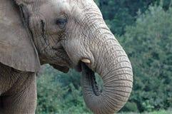 吮王牌的大象 免版税库存照片