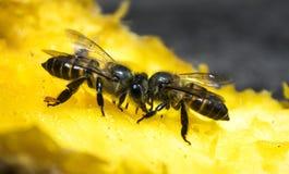 吮甜成熟芒果的两只蜂 免版税库存照片