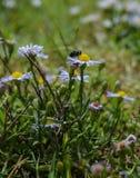 吮花粉的一次共同的房子飞行的宏观照片从白色野花 免版税库存照片