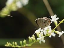 吮花蜜的小的布朗蝴蝶 图库摄影